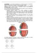 OTRO:  Anatomía bucal. Modulo exploración